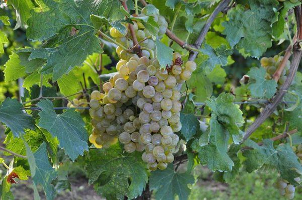 A szőlőfajták közül idén is az utóbbi évek új telepítéseinek egyik legkedveltebb fajtája, a bianca lehet a zöldszüret éretlen szedésében leginkább érintett