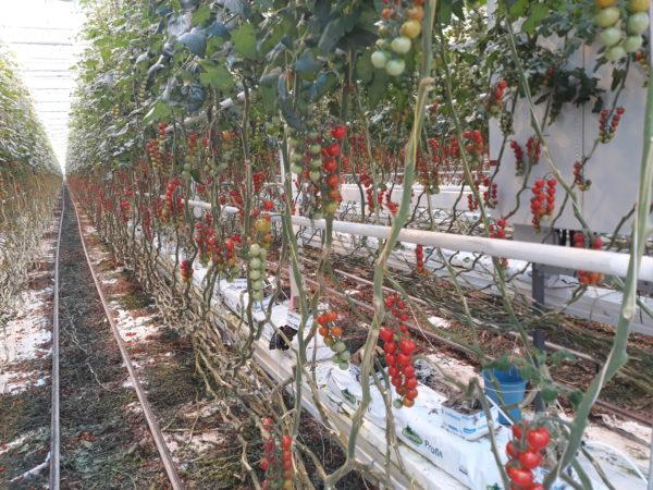 Egyre közelebb az idő, amikor a mesterséges intelligencia vezérli az üvegházi termesztést - Fotó: Magro.hu - CSZS