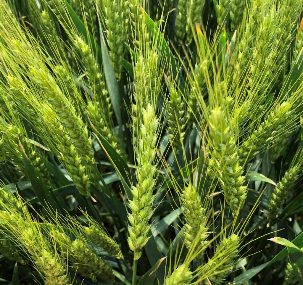 A Basilio a magas terméspotenciál mellett malmi minőségre is képes