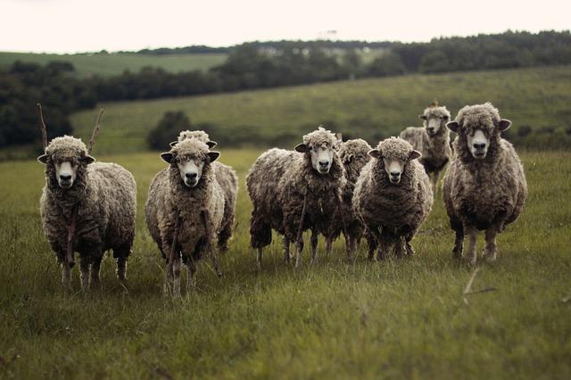 Támogatások is növelik a juh- és kecsketartási kedvet (Fotó: Pixabay)