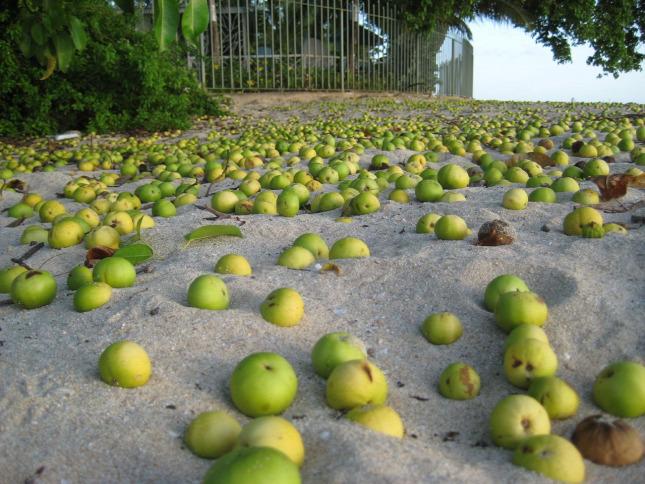 Manszanilyafa gyümölcs veszélyes mérgeket tartalmaz (Fotó: FORRÁS: Laurie Voss, FLICKR)
