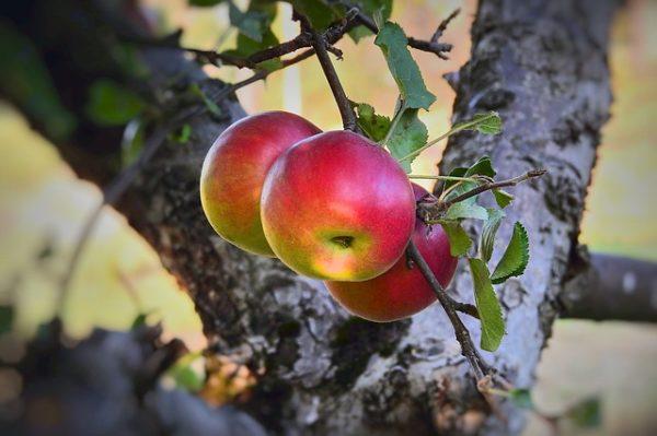 Nagyon kevés lesz idén a magyar alma és körte is a fagykárok miatt