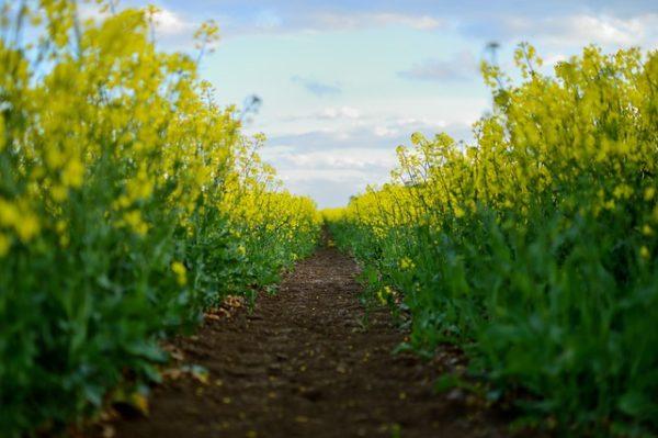 Hasznos a zöldítés másodvetésben, de  repceterületek környezetébe nem javasolt keresztesvirágú keveréket használni a kártevő felszaporodás kockázata miatt
