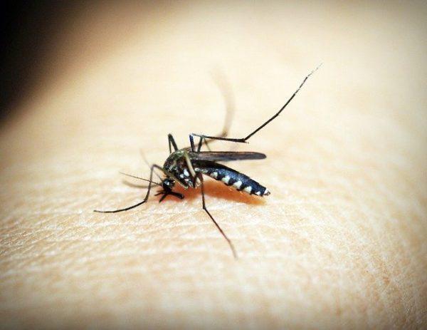 Hamarosan 750 millió génmódosított szúnyog repkedhet Floridában - képünk illusztráció