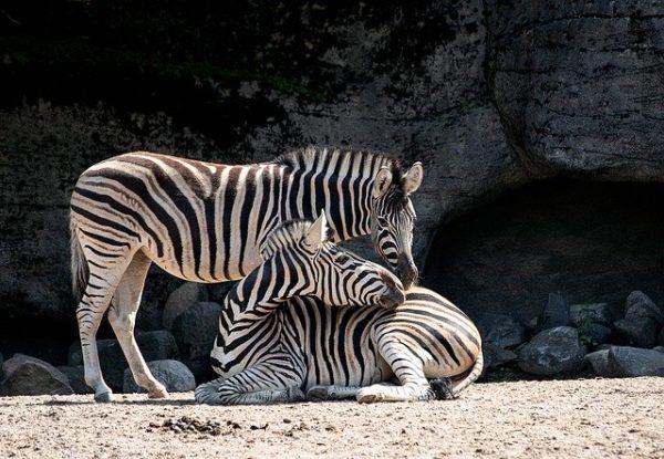 A zebra háziasítását egy betegség akadályozta meg