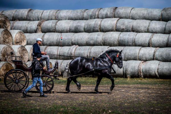 Nagyot emelkedett az őshonos lófajták állománya az utóbbi 5 évben - a magyar hidegvérű lófajta komoly eredményeket ért el - Fotó: Pelsőczy Csaba, AM