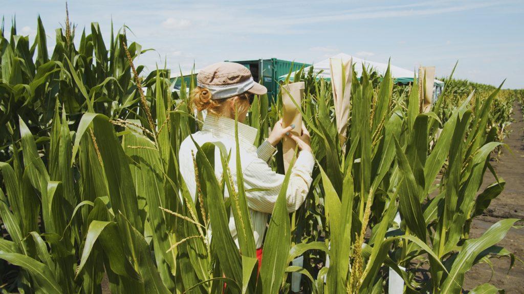 Izolációs munka a kukoricanemesítő kísérleti területen