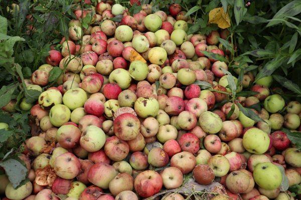 Bizonytalan az almapiac, de sok jóra nem számítanak a FruitVeB szakemberei - képünk illusztráció