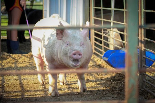 A kínai importtilalom hatásai egyelőre nem érték el a magyar húspiacot
