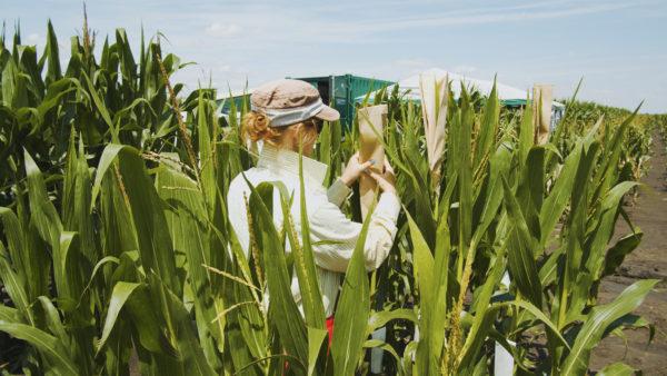 A kukorica vizsgálata