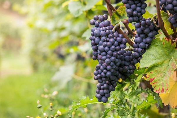 A Pinot noir fajtát is veszélyezteti az aranyszínű sárgaság betegséget terjesztő szőlőkabóca - Képünk illusztráció