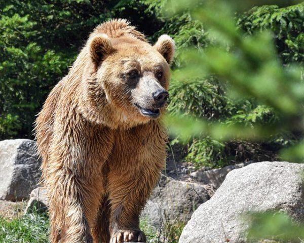 Medve kóborol Miskolcon és környékén, a hatóságok nagy erőkkel keresik, hogy visszaterelhessék az állatot az erdőbe - képünk illusztráció