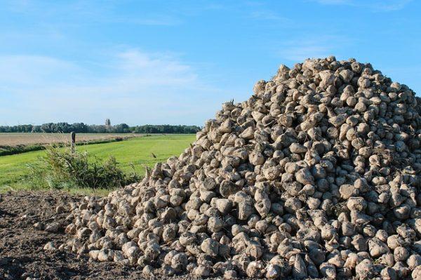 Az USA Mezőgazdasági Minisztériuma azt írja az elemzésében, hogy a cukorrépatermés jelentősen csökken a következő szezonban is