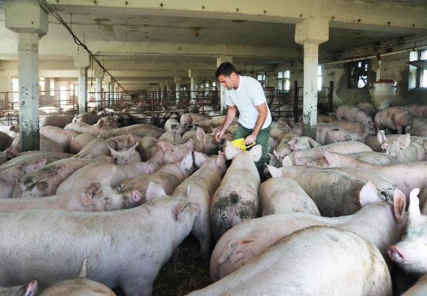 A Győr-Moson-Sopron megyei Fiatal Gazda Gazdakör elnöke, Derdák Gábor bízik benne, hogy a hazai fogyasztók a magyar sertéstartók állományaiból készült termékeket választják a boltokban