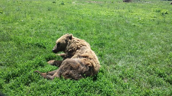 A barna medve egész nap aktív lehet, de leginkább reggel és este jár táplálkozni - Fotó: Magro.hu, CSZS, Veresegyház