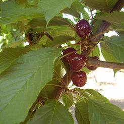 A szomolyai rövidszárú fekete cseresznye: Fotó: MKSZN