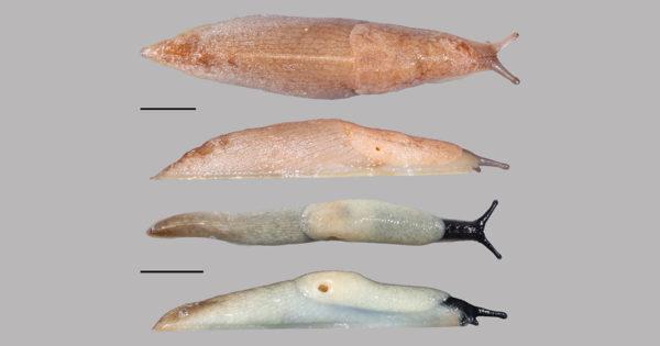 Malaccsiga (fent) és feketefejű meztelencsiga (lent). Mindkét skála 1 centimétert jelöl. Fotók: Turóci Ágnes