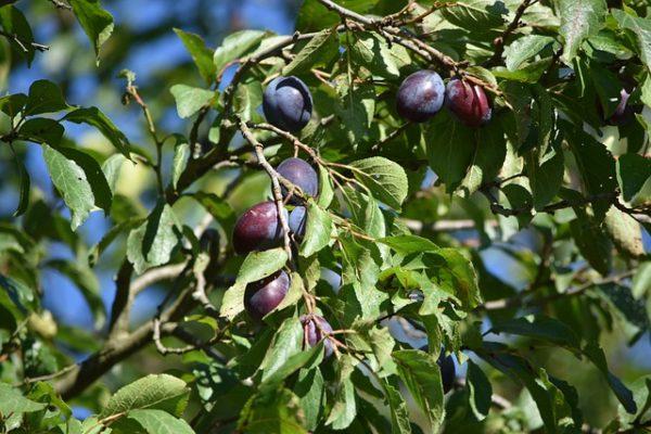 Nagyon fontos a termés szempontjából is a szilvafa metszése