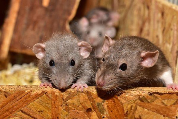 Készül az első magyar rágcsálótérkép - egerek és patkányok kerülnek be a statisztikákba