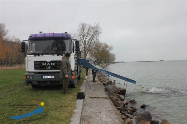 Pontyok csúszdáznak a tóba a balatoni haltelepítés során - Fotó: Balatoni Halgazdálkodási Nonprofit Zrt.