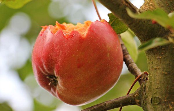 A gyümölcsfák téli védelme megalapozza a növények jó tavaszi fejlődését
