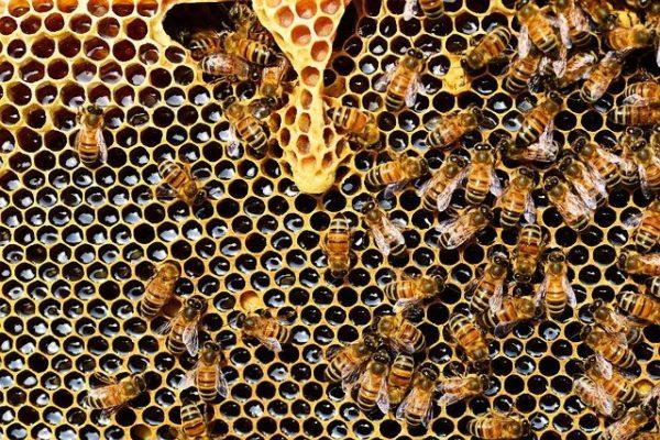 A kezelt mézelő méhcsaládok egyharmada minden télen elpusztul  az Egyesült Államokban