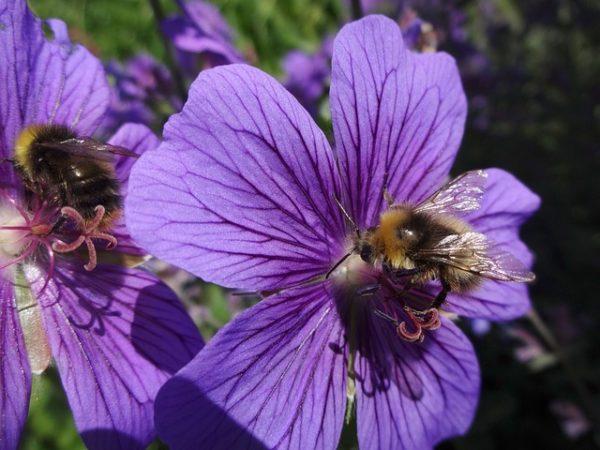 Miközben ugyanolyan virágokból táplálkoznak, gyakran azt tapasztalják, hogy a poszméhek száma meghaladja a mézelő méhekét - egy másiknál meg fordítva