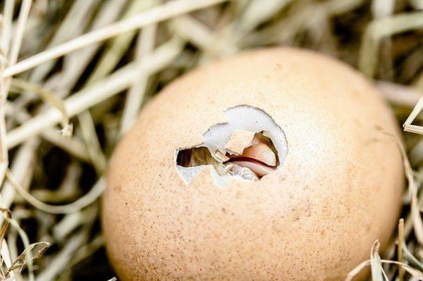 A génszerkesztés segítségével csapatunk genetikai immunitást adhat a csirkéknek számos betegséggel szemben