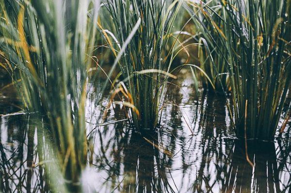 Több 1000 hektáron károsíthatja a magyar búzát belvíz