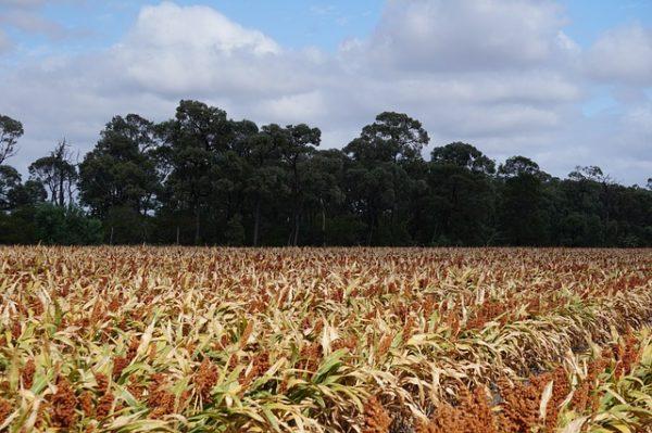 Segíthet a növényeknek a kukoricaolaj kibocsátásának növelésében, és fokozhatja az etanolhozamot