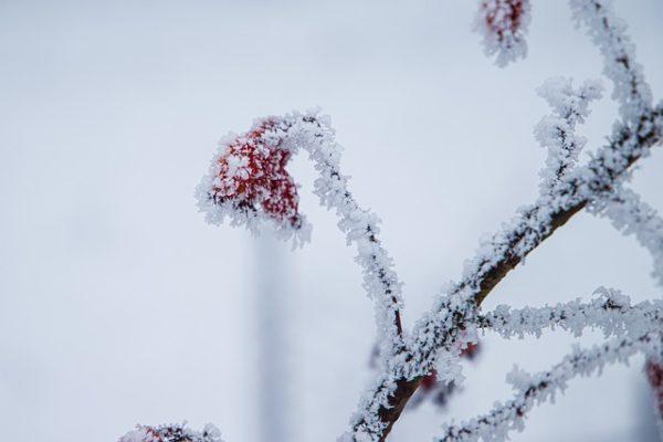 Enyhébb napokon érdemes megkezdeni a gyümölcsfák téli metszését