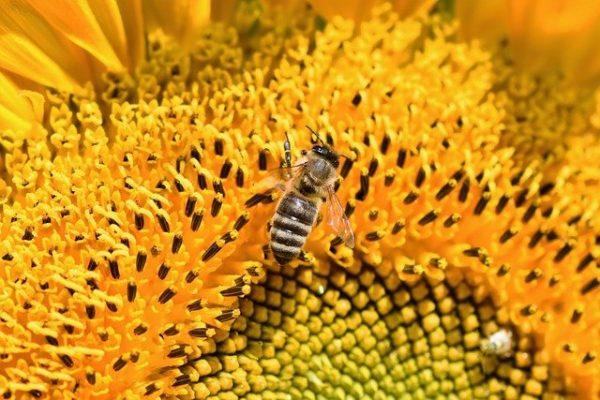 A mézelő méhek és a poszméhek nem versenyeznek egymással a nektárért