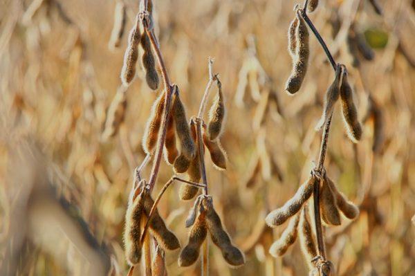 Kényszer nincs, kockázat van a lombikhús, a szója és a rovarok evésében: az alternatív fehérjeforrások értékelésére indított átfogó vizsgálatot Nébih