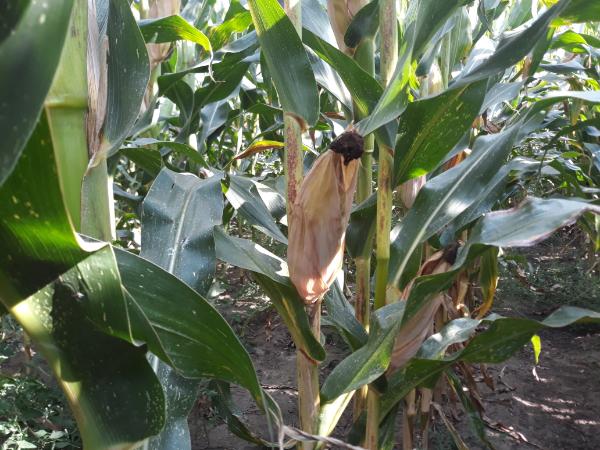 Baktériumok, gombák és kártevők ellen kapott extra használati engedélyt 6 növényvédőszer - köztük van a kukorica rovarölője, az Inazuma is - Fotó: Magro.hu, CSZS, Bábolna
