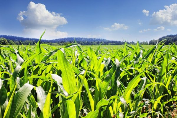 A mostani árszintek megalapozhatják, hogy a gazdák e két tavaszi vetésű növényt a tavalyinál sokkal nagyobb területen fogják termeszteni