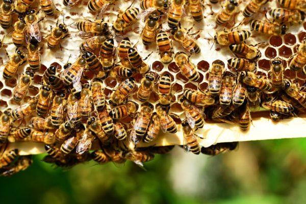 A legtöbb méh magányos, de némelyek, például a mézelő méhek és a dongók áttértek a közösségi életre