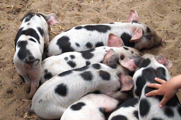 Megduplázták a pályázati pénzt az állattartó telepek járványvédelmének korszerűsítésére, a lehetőség 2021. április 26-tól 2022. április 26-ig lesz nyitva