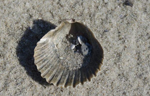 A balatoni kagylók takarmányalapanyagként segíthetik az állatok élelmezését - képünk illusztráció