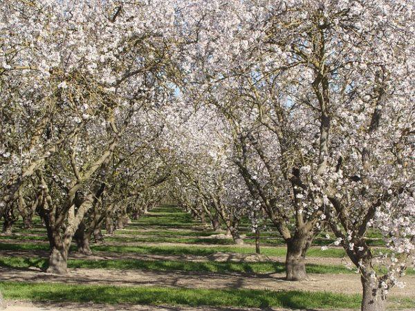 Kedvező a felmelegedés és a szárazság, de a nagyobb harmatképződés is elegendő a virágok megfertőződéséhez