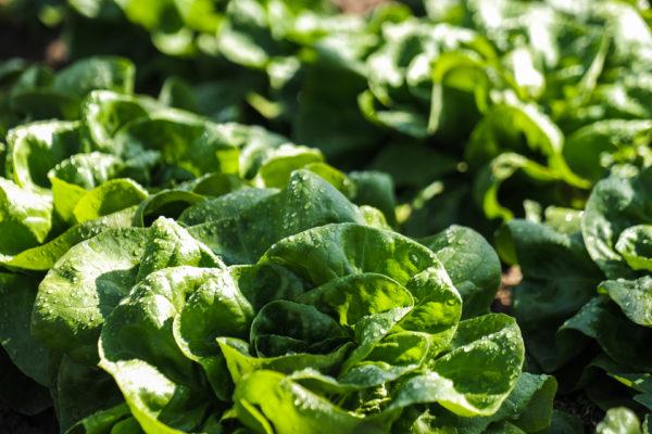 Nagy mennyiségben kaphatók a hazai termelésű, friss primőr (fóliás, illetve üvegházi) zöldségek a magyarországi áruházakban