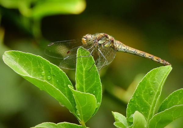 A kiskertekben hasznos rovarok egyike a szitakötő