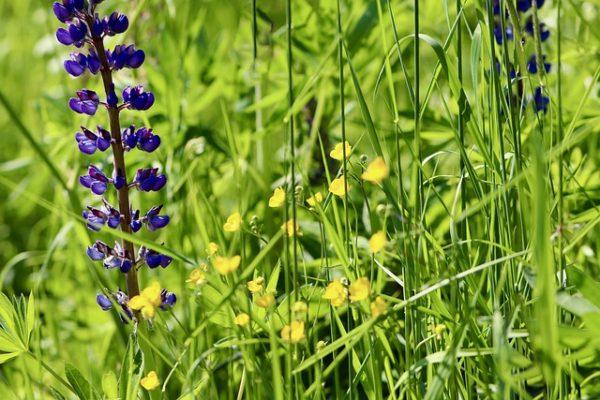 Az egyik leggyakoribb köztesnövény a csillagfürt - képünkön balra, lila