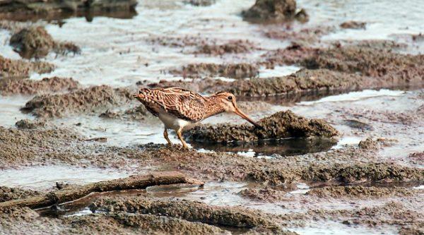 A sárszalonka fő élőhelyei a zsombékoló mocsárrétek, tocsogók, sásrétek