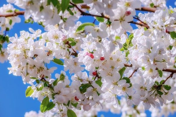 A gyümölcsfák évenkénti virágképzésének mértéke elsősorban a termőrügy-differenciálódás mértékétől függ
