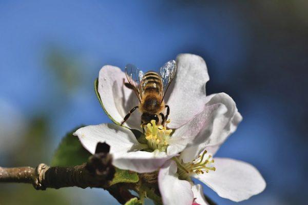 Gyümölcstermő növényeink túlnyomó részét rovar porozza be, ezt legtöbbször a méhekkel végeztetjük el