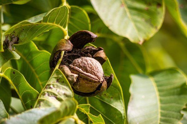 A dióburok-fúrólégy elleni védekezéshez kapott különleges, szükséghelyzeti felhasználási engedélyt a Mospilan 20 SG rovarölő szer
