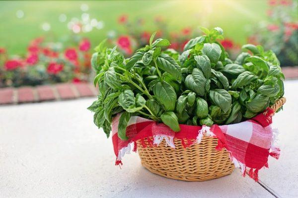 A legtöbb helyen a kis, zöld levelű változatát termesztik
