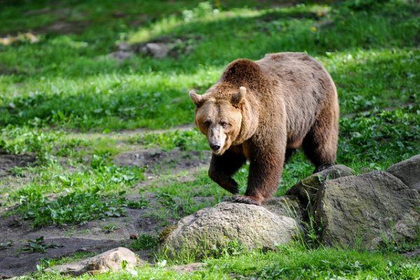 Rengeteg problémát és kárt okoznak a medvék Erdélyben - képünk illusztráció