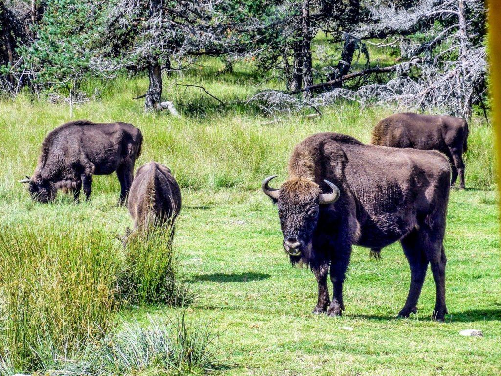 Az európai bölények jelentősen csökkentik az erdőtüzek kialakulásának esélyét a legelésükkel