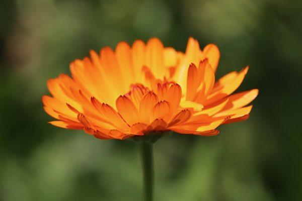 Érdemes napra ültetni, habár árnyékban is képes fejlődni